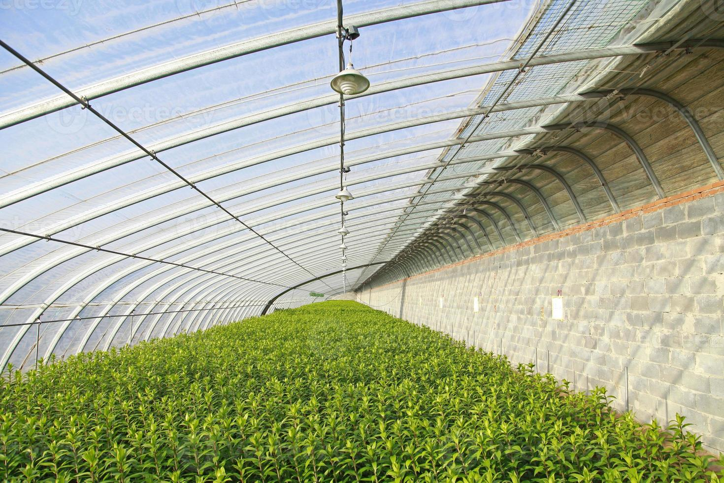 Lilies are planted in greenhouses photo