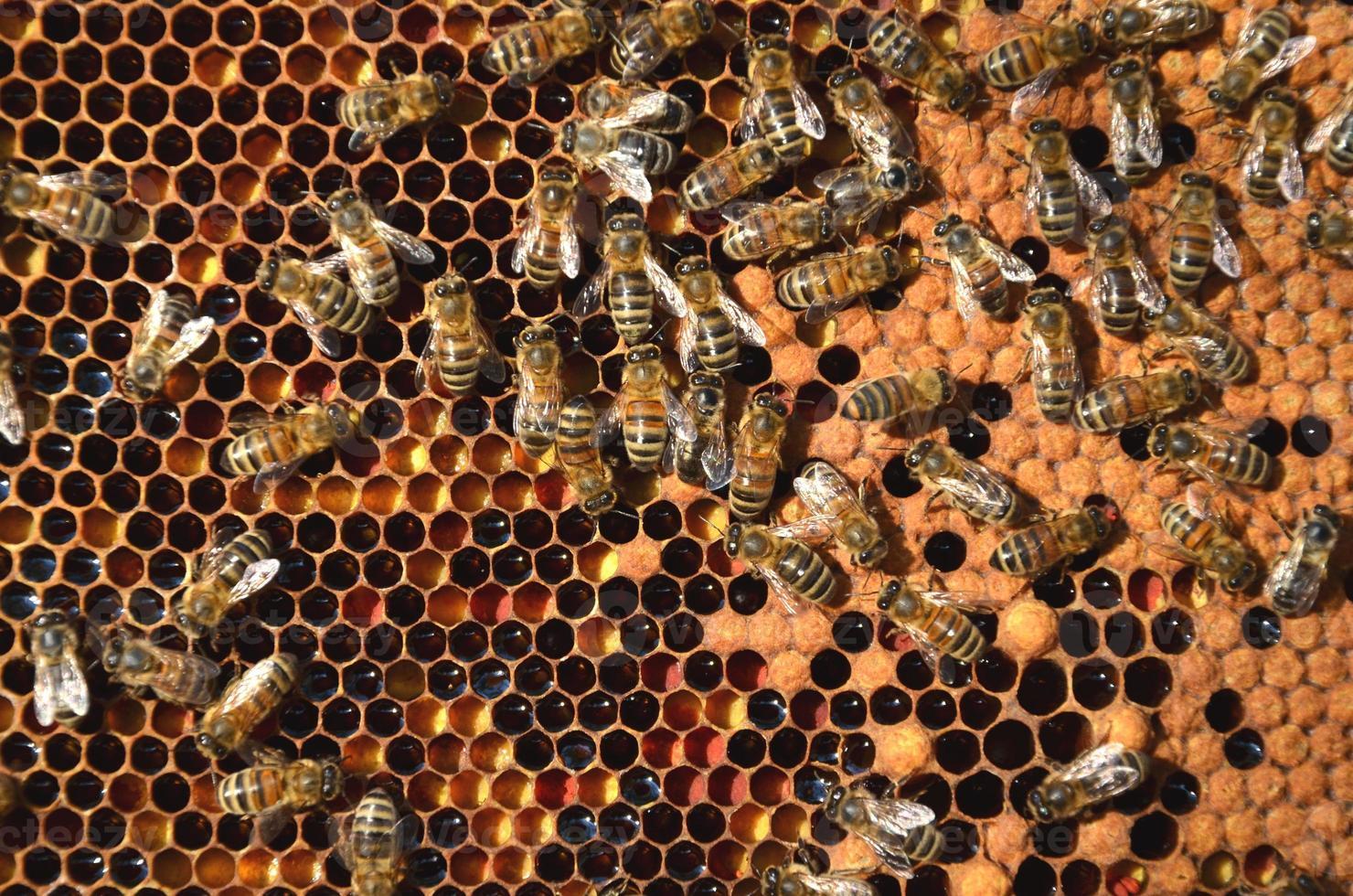 abejas trabajadoras en panal foto