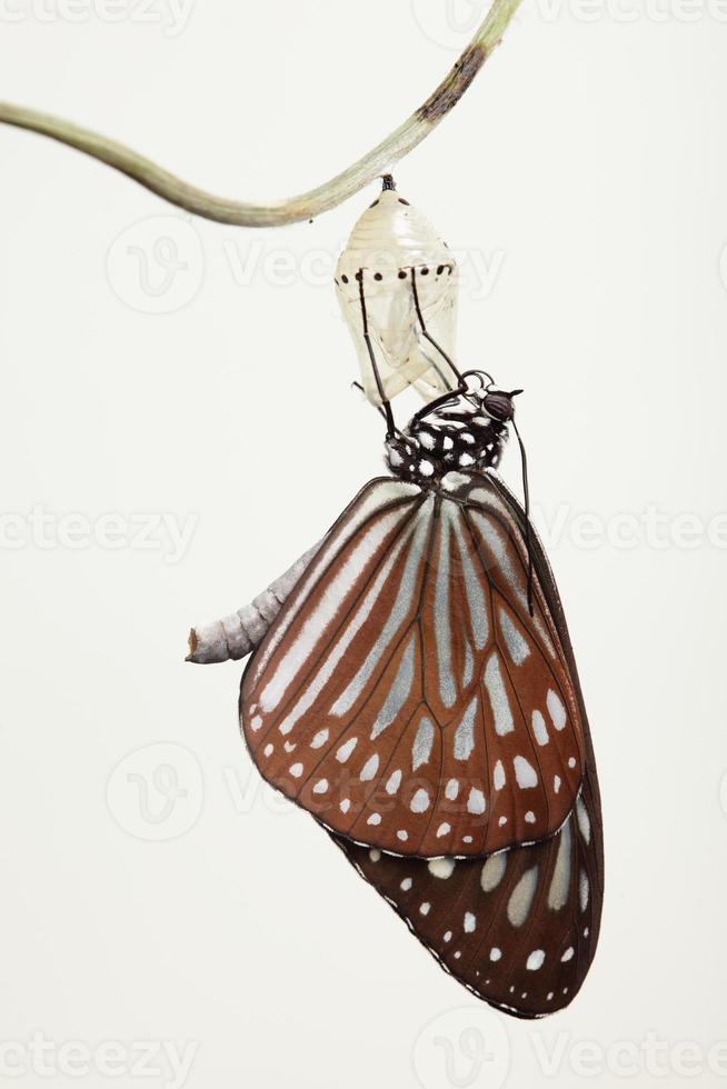 forma de cambio de mariposa crisálida foto