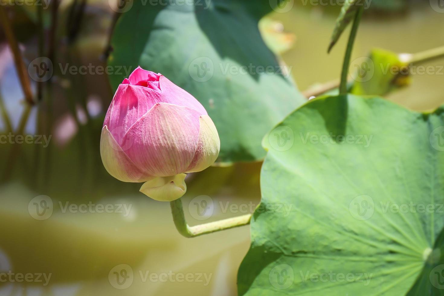 flor de loto con plantas foto