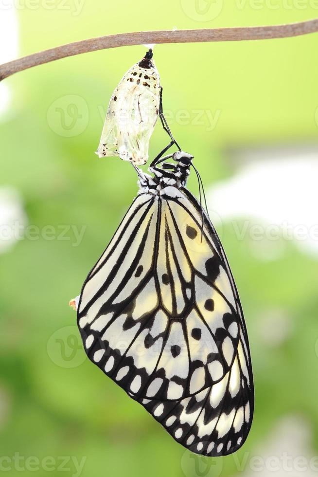 butterfly change form chrysalis photo