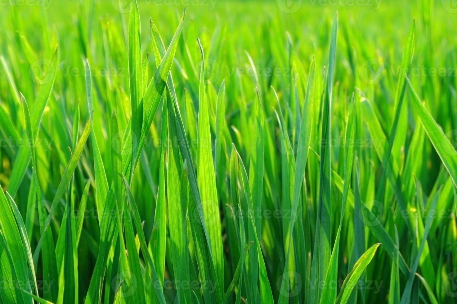 borrosa hierba verde con gotas de agua en el sol foto