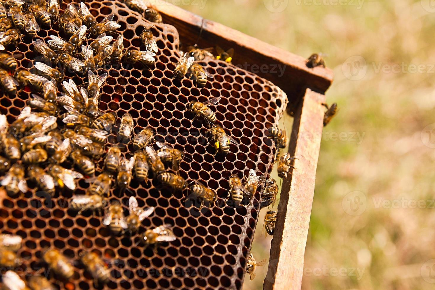 Close up view of the working bees on honeycomb. photo