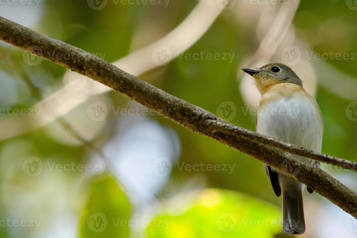 red throated flycatcher photo