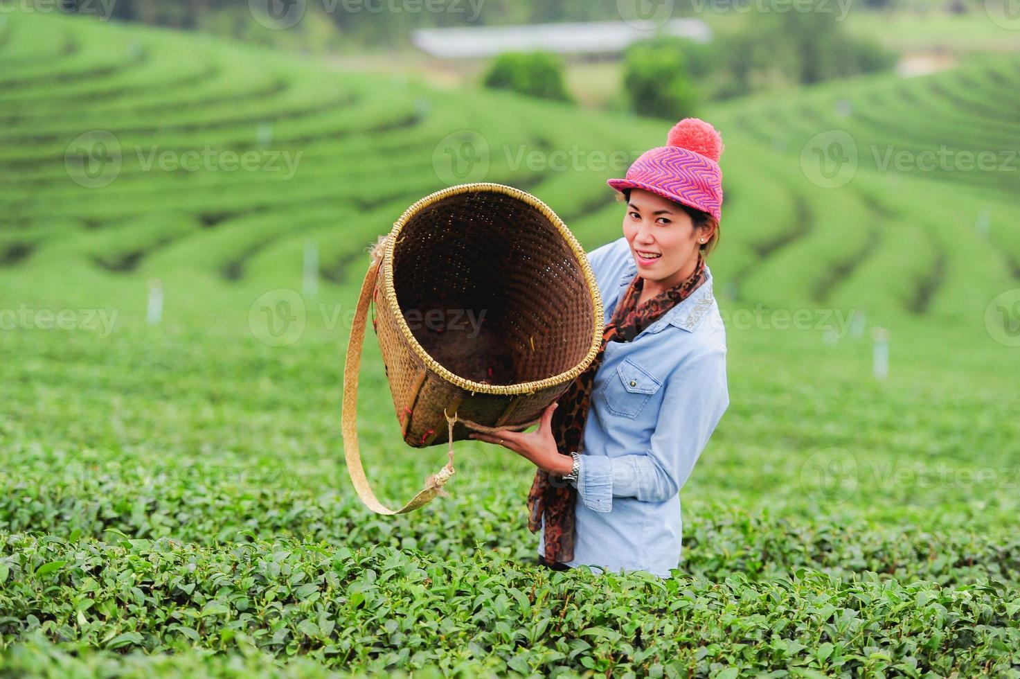 Asia beautiful Woman picking tea leaves in plantation photo