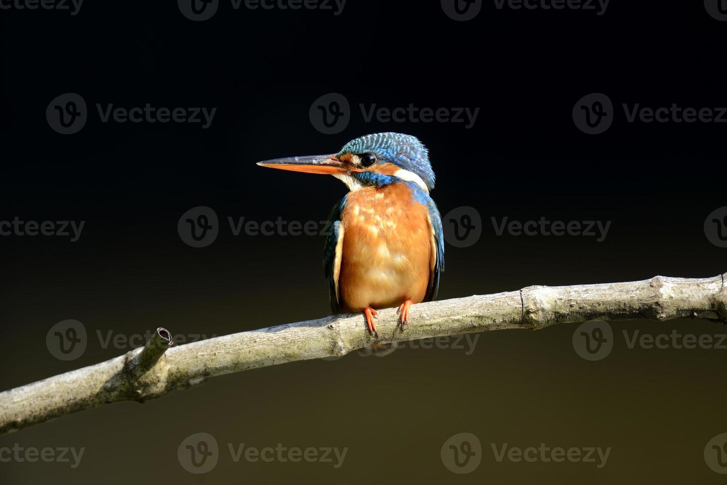 pájaro martín pescador azul foto