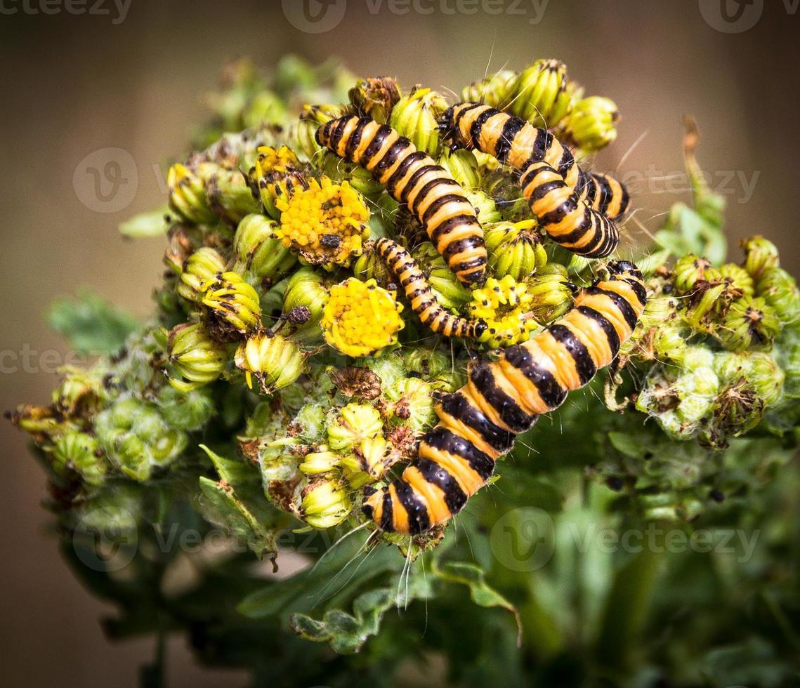 Caterpillars photo