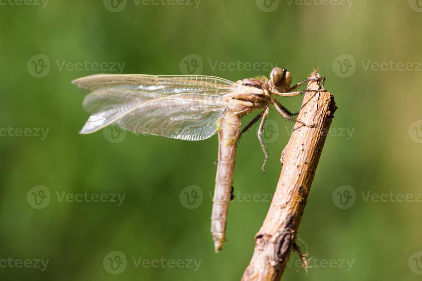 libélula relajante foto
