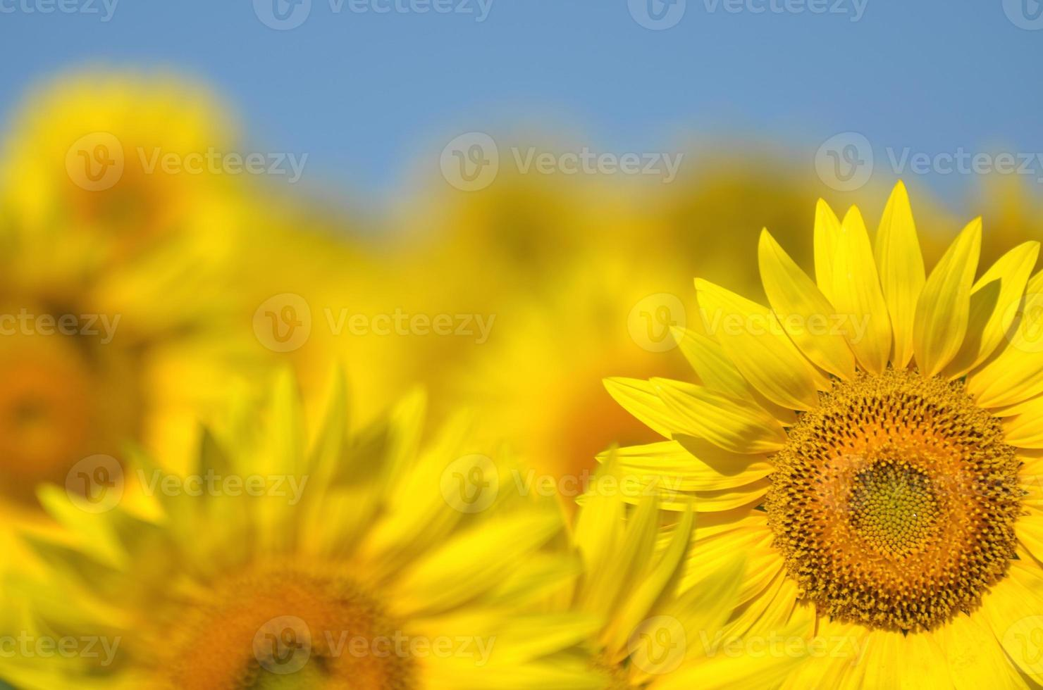 Beautiful sunflowers of Tuscany in Italy against blue sky photo