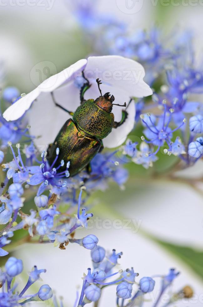 Stag beetle on lace-cap hydrangea photo
