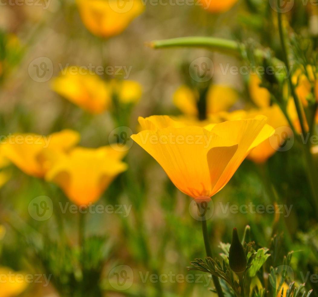 Beautiful wildflower eschscholzia californica in foreground photo