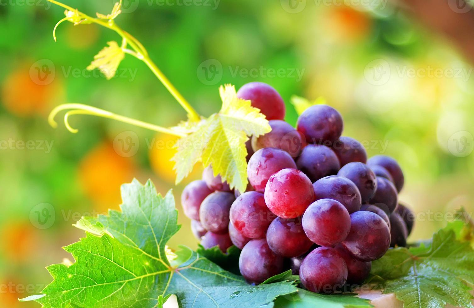 ripe grapes with green leaves photo
