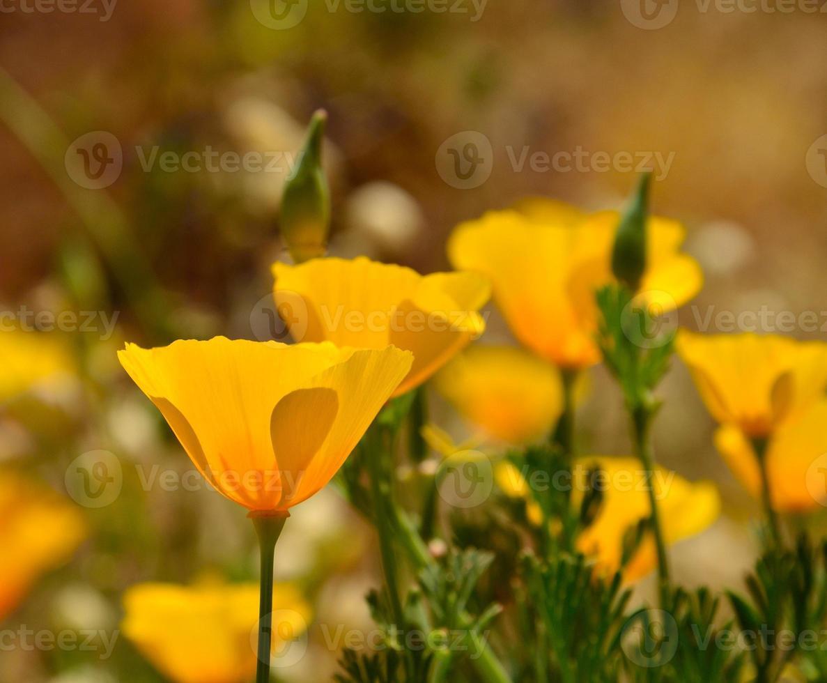 Splendid wildflower eschscholzia californica in full bloom photo