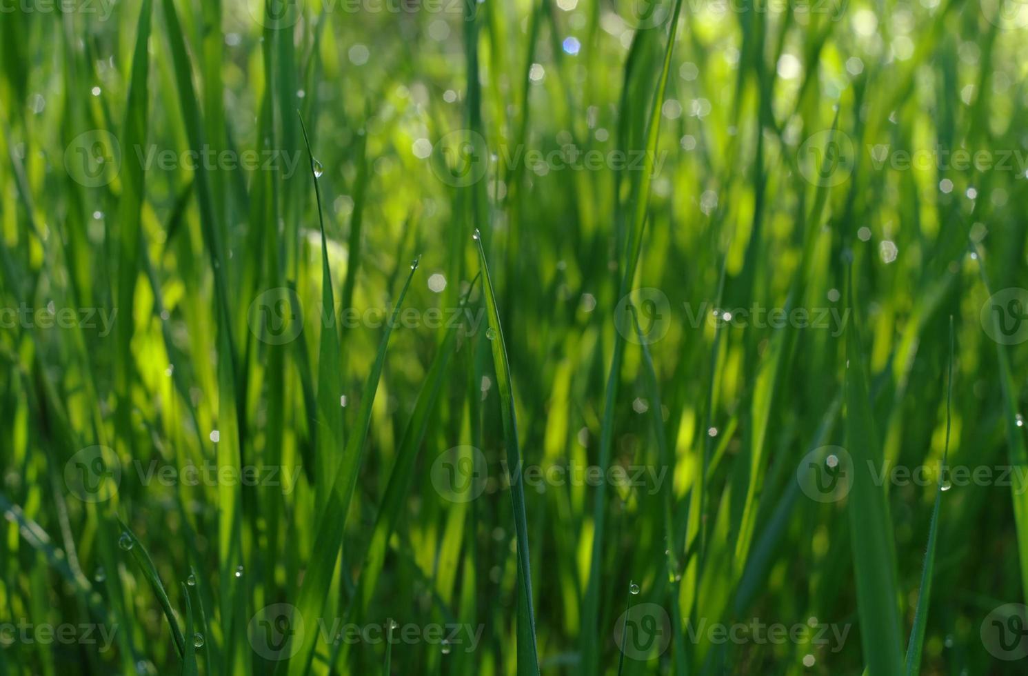 suave hierba verde desenfocada con gotas de agua en el sol foto