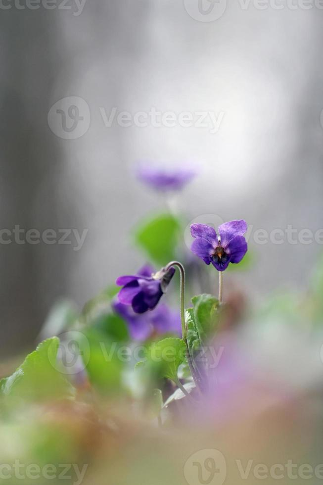 Viola odorata - Sweet Violet, English Violet, Common Violet, or Garden Violet photo