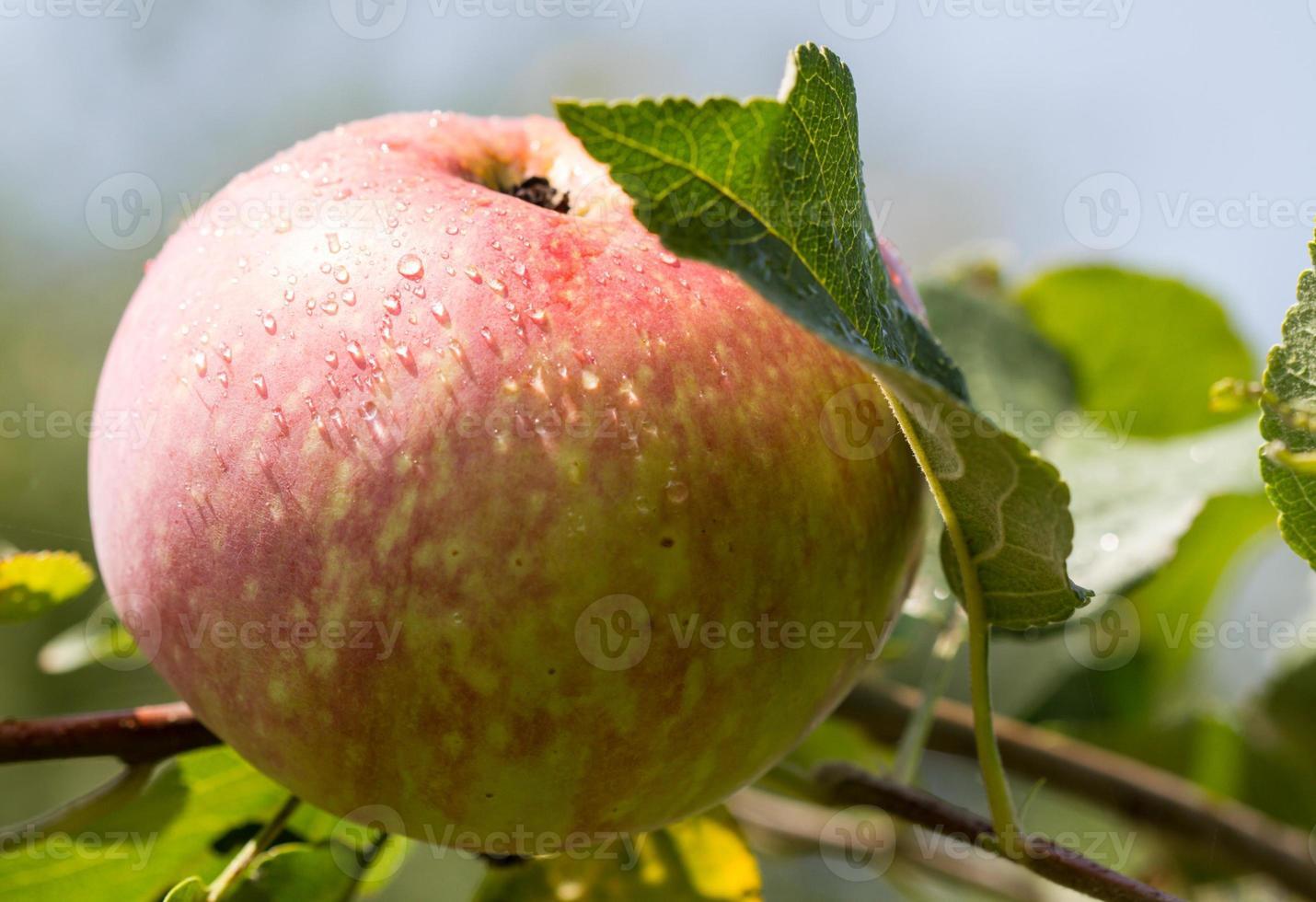 manzana en una rama foto
