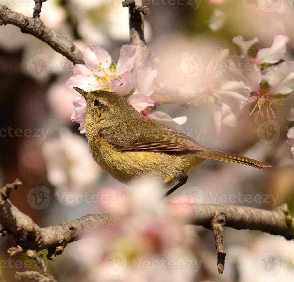 Beautiful bird phylloscopus looking attentively on branch of almond tree photo