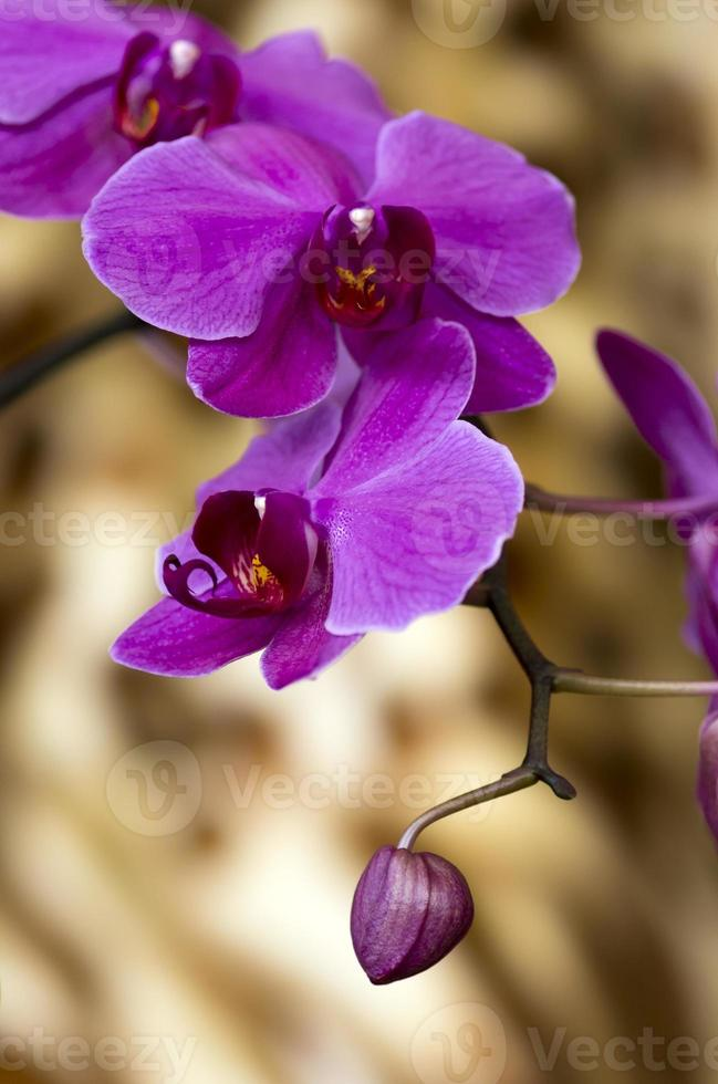 Purple orchid heads photo