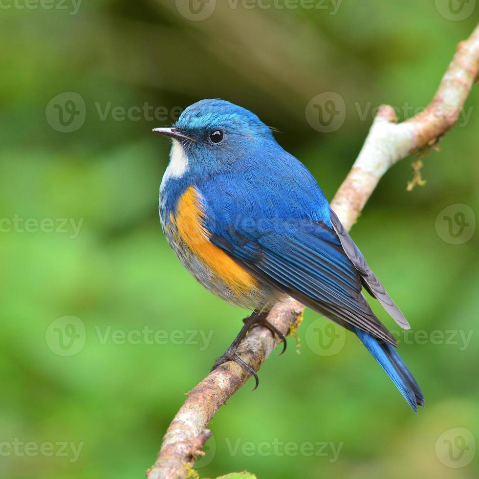 Himalayan Bluetail bird photo