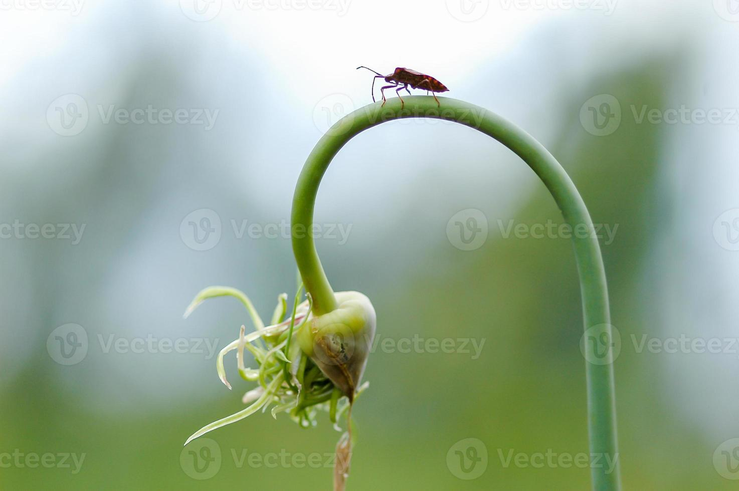 fly hemiptera Nezara Viridula Heteroptera pentatomidae palomera prasina on garlic photo