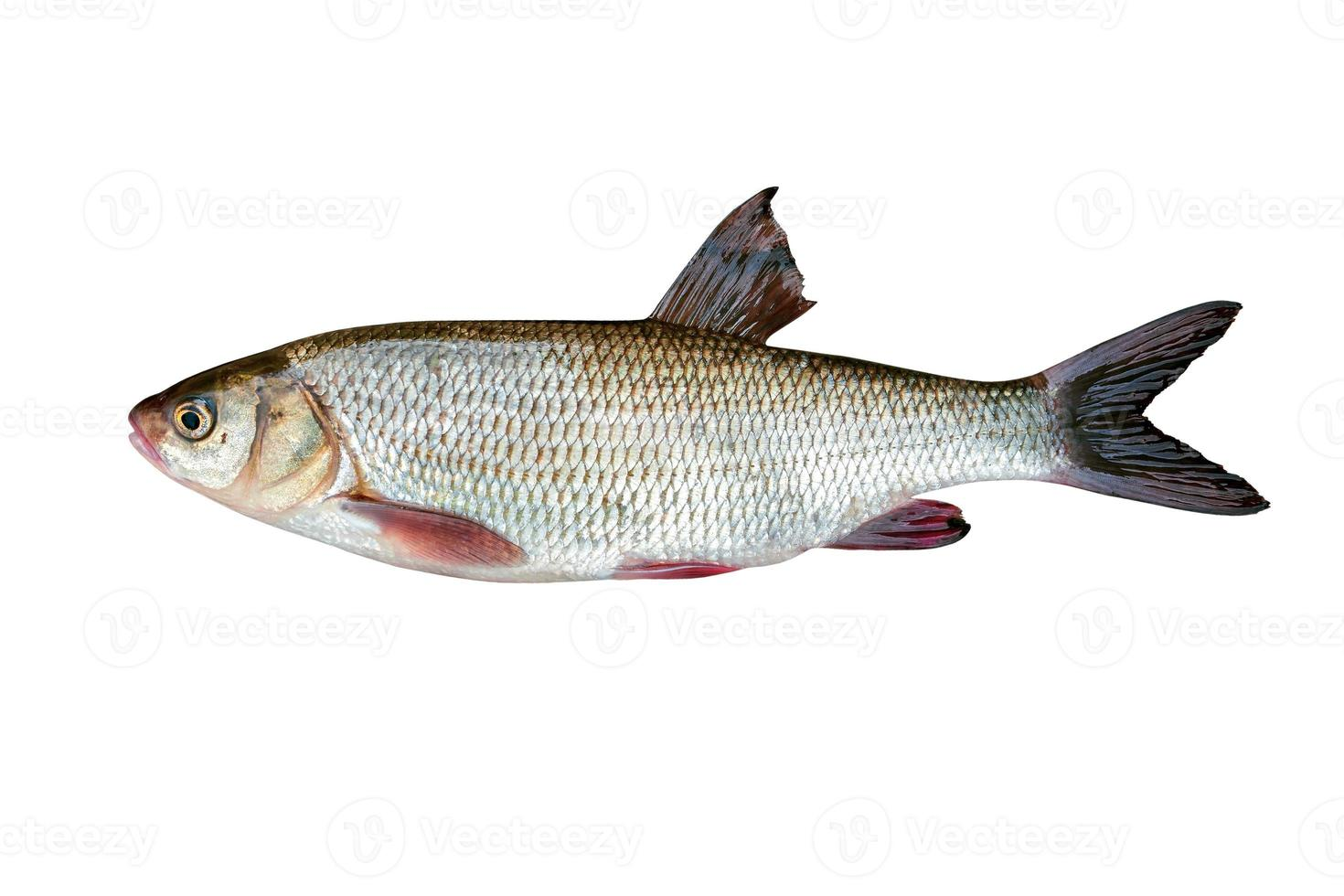 ide de peces de agua dulce foto