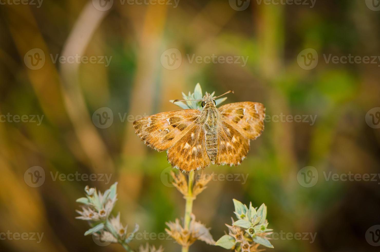 Mariposa marrón descansando sobre la hierba foto