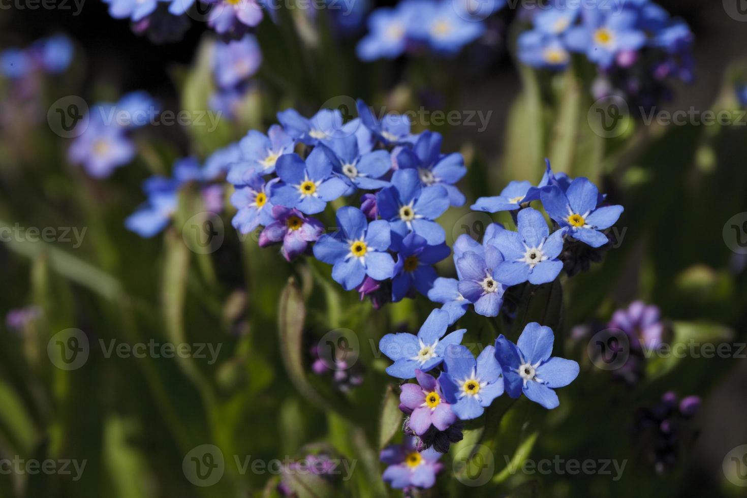 hermosa flor de color azul brillante foto