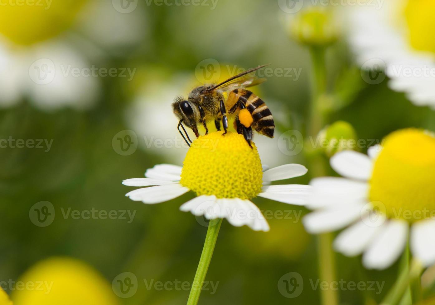 abeja en flor foto