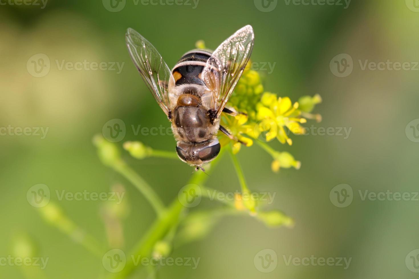 Insectos diptera syrphidae foto