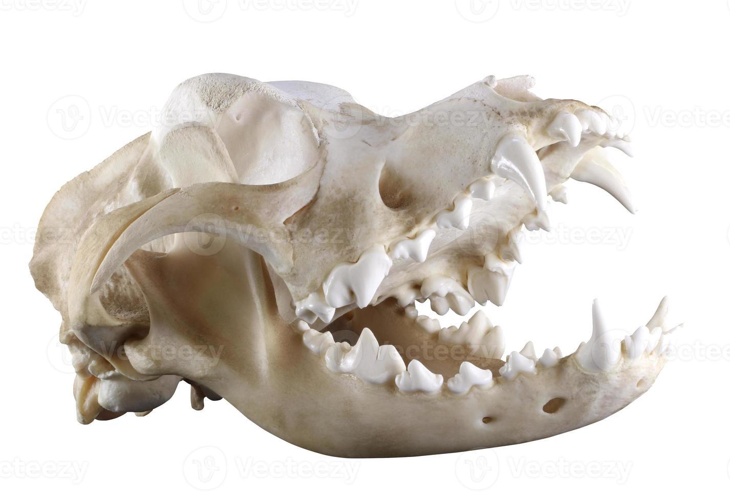 Cráneo de perro de San Bernardo aislado sobre un fondo blanco. foto