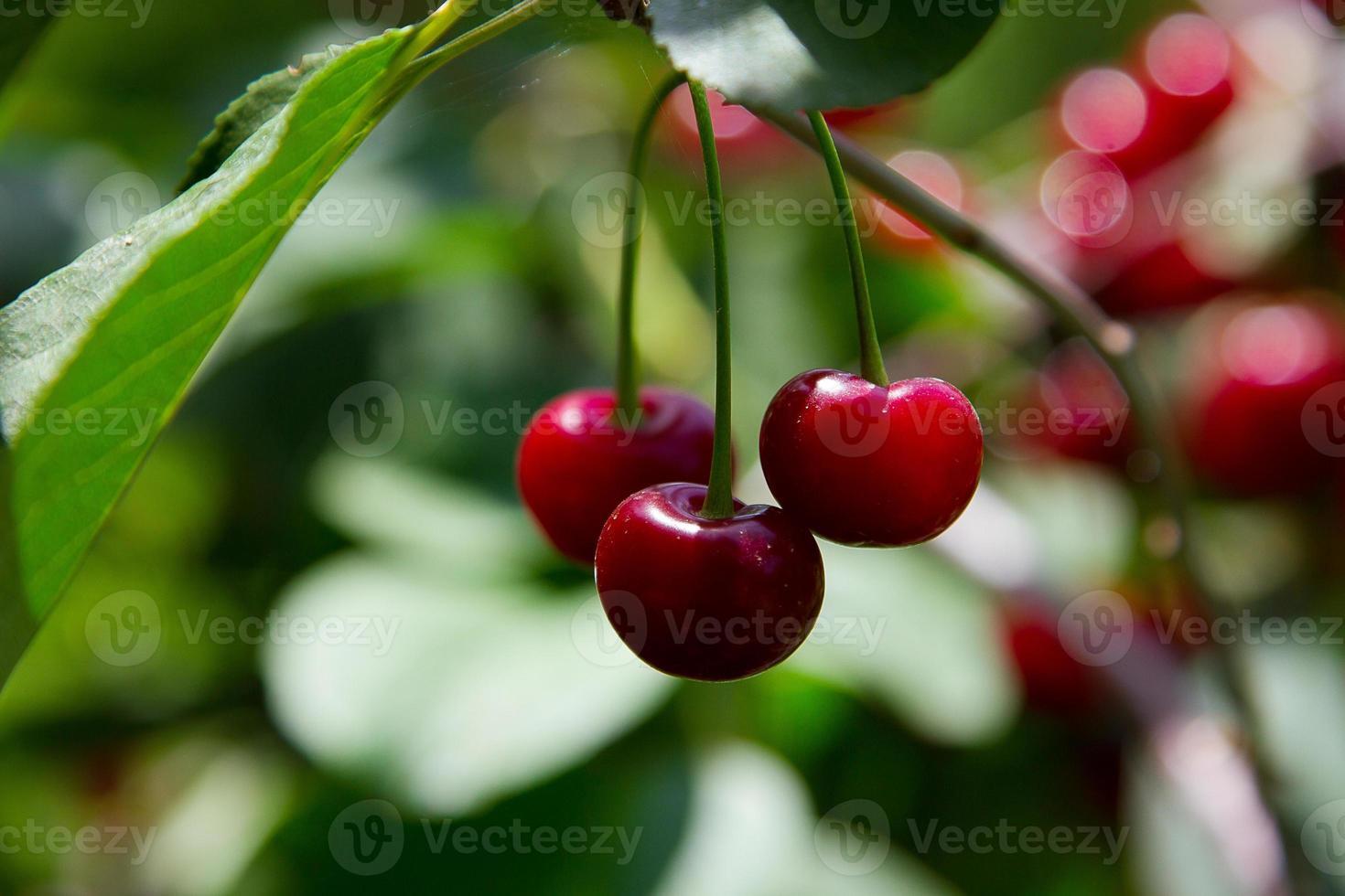 Brightly red cherry among emerald foliage photo