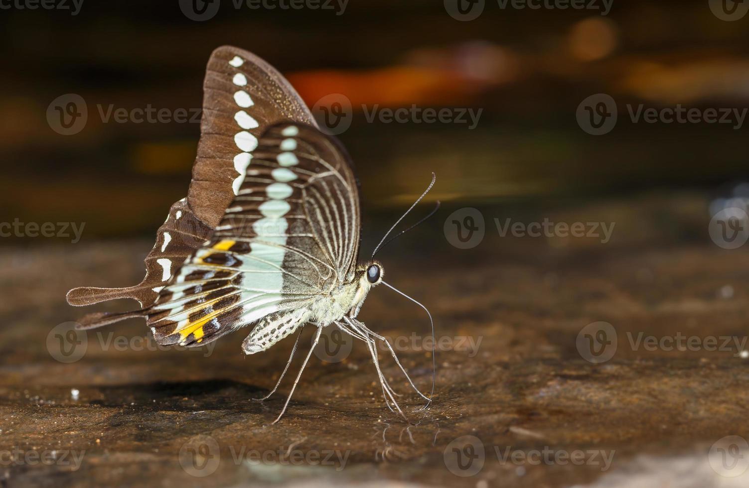 mariposa de cola de golondrina congregada (papilio demolion) foto