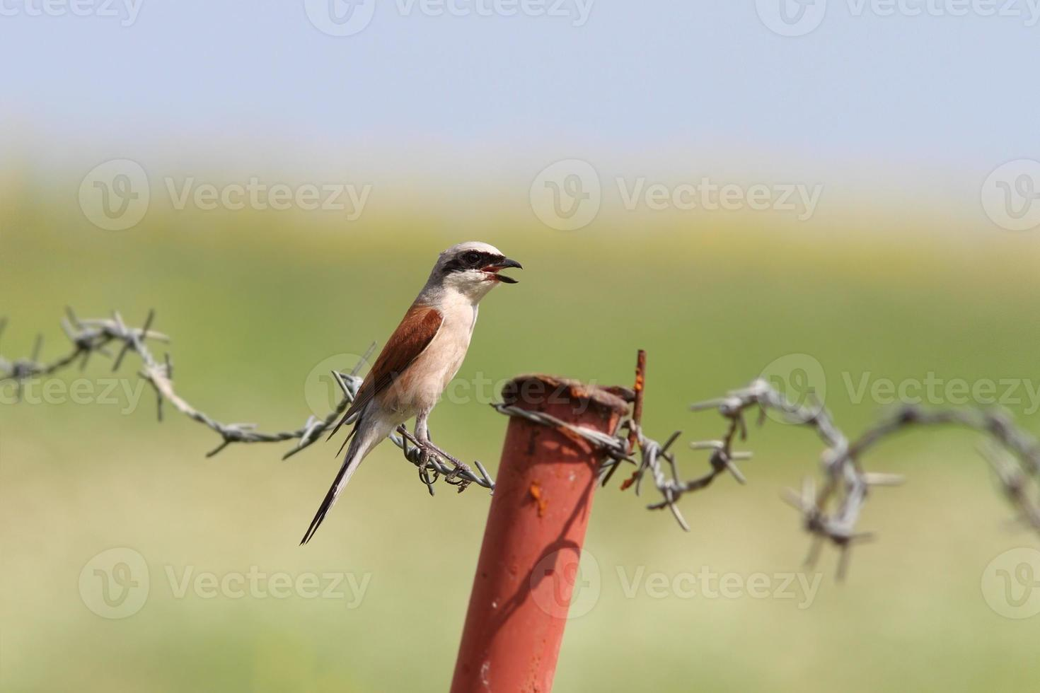 lanius collurio on barbed wire photo