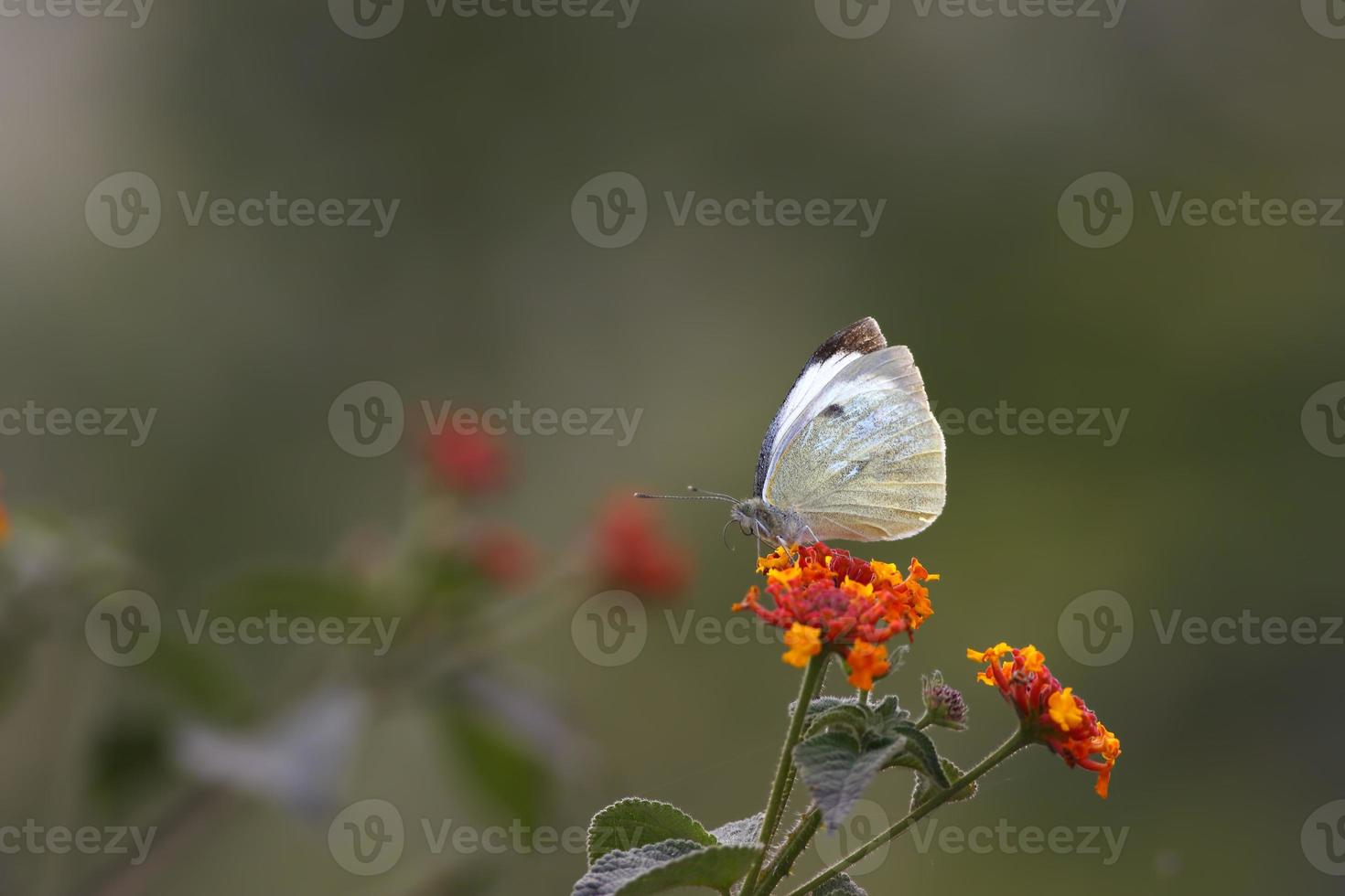 Large White Butterfly (pieris brassicae) photo