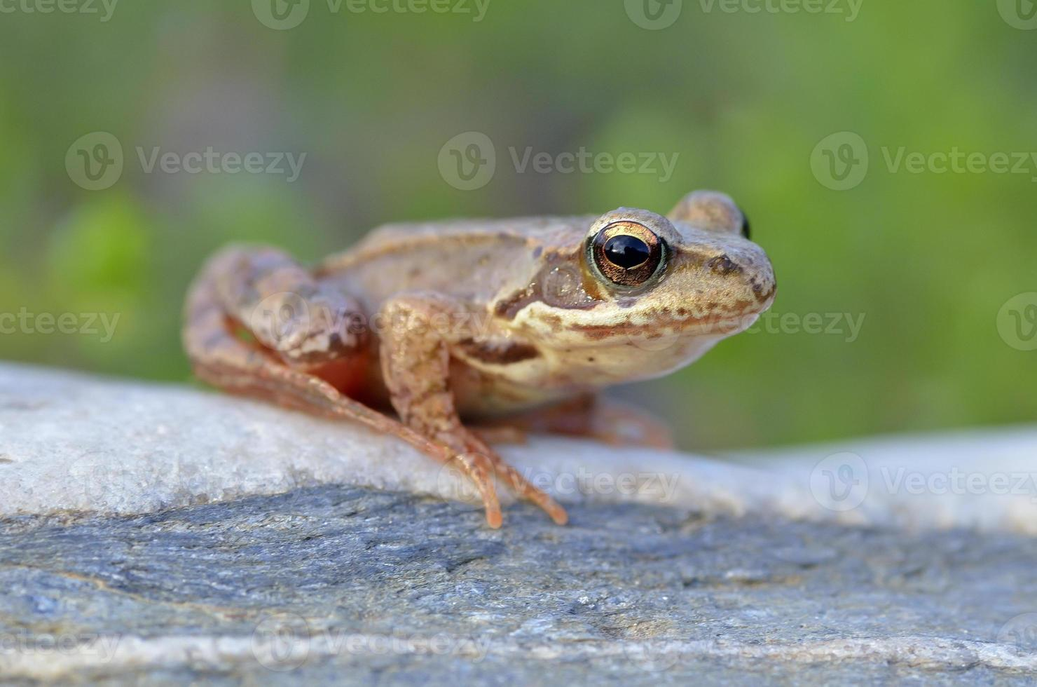 la rana común foto