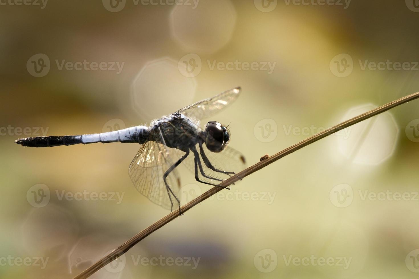 libélula en marrón foto
