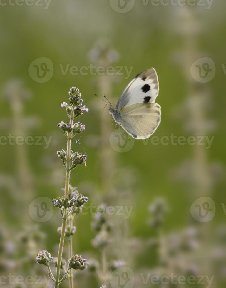 Large Cabbage  Butterfly on wild flowers photo