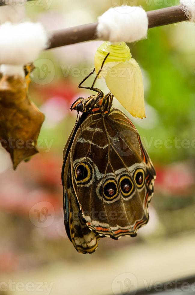 Butterfly hatches from the pupa photo