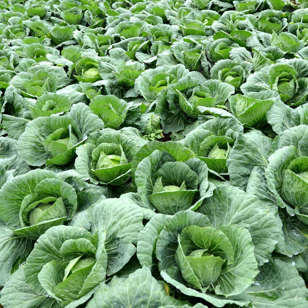 Group of Cabbage Vegetable Farm photo