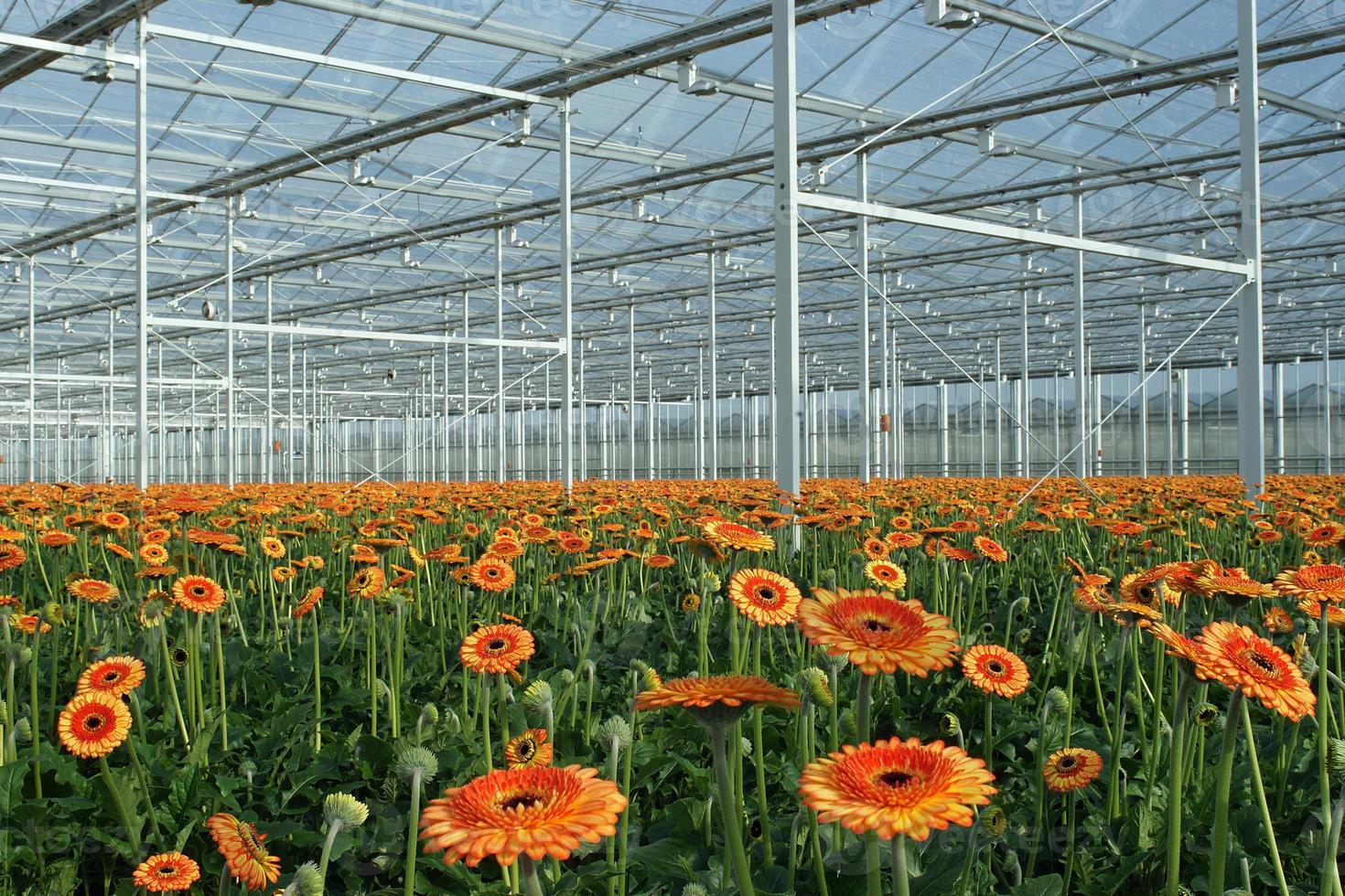 Modern greenhouse with orange gerberas photo