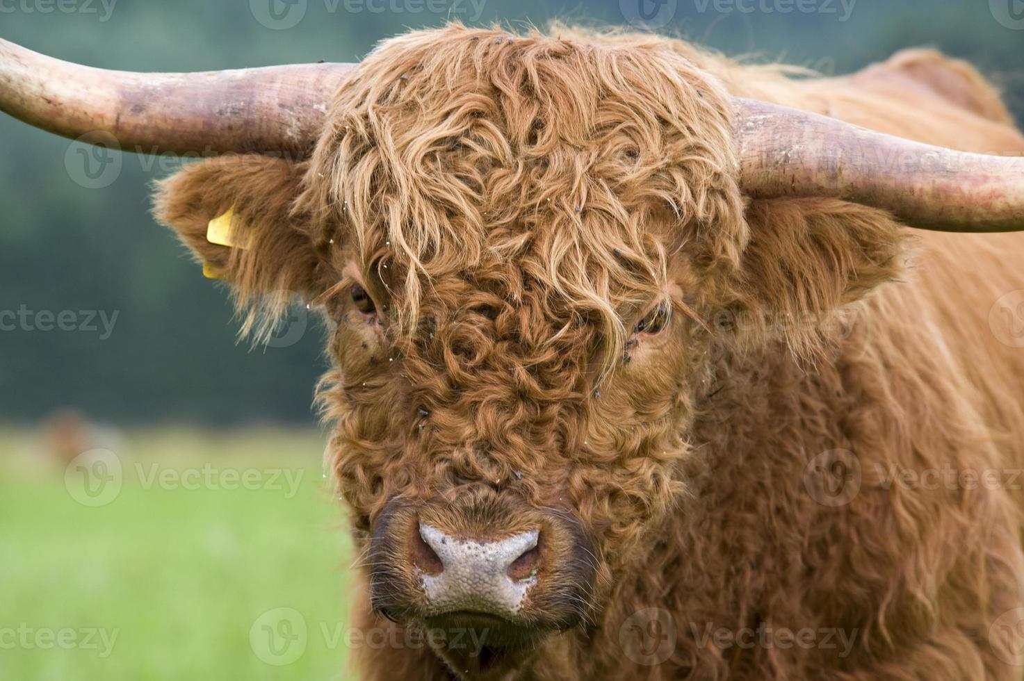 Close up portrait of a highland cattle photo
