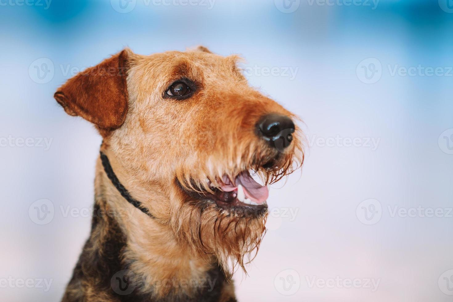 Beautiful Brown Airedale Terriers Dog photo