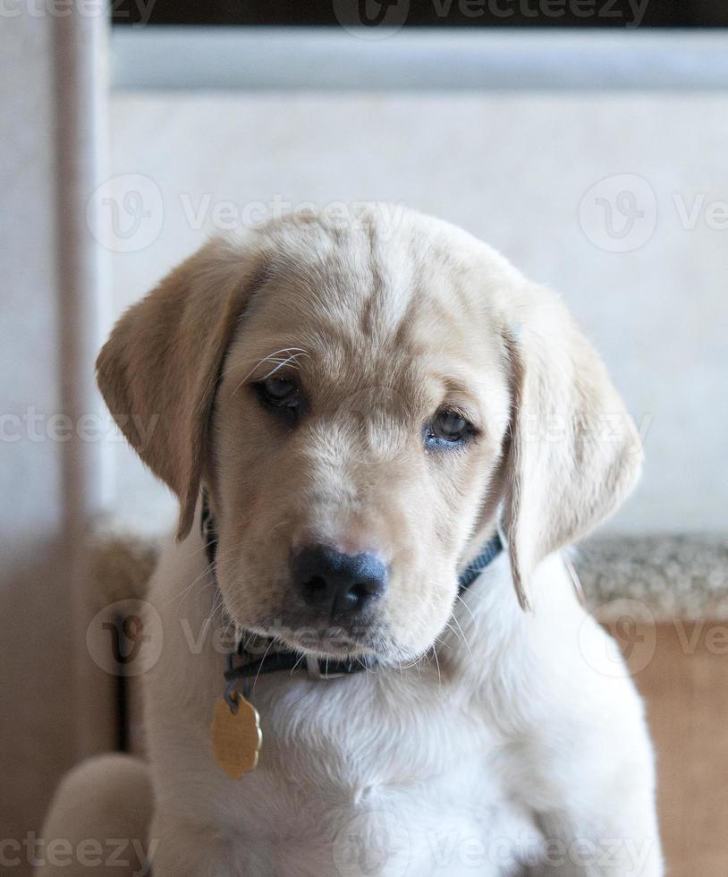 cachorro labrador amarillo foto