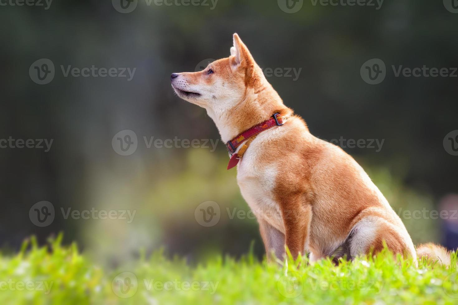 Shiba inu sits in the park photo