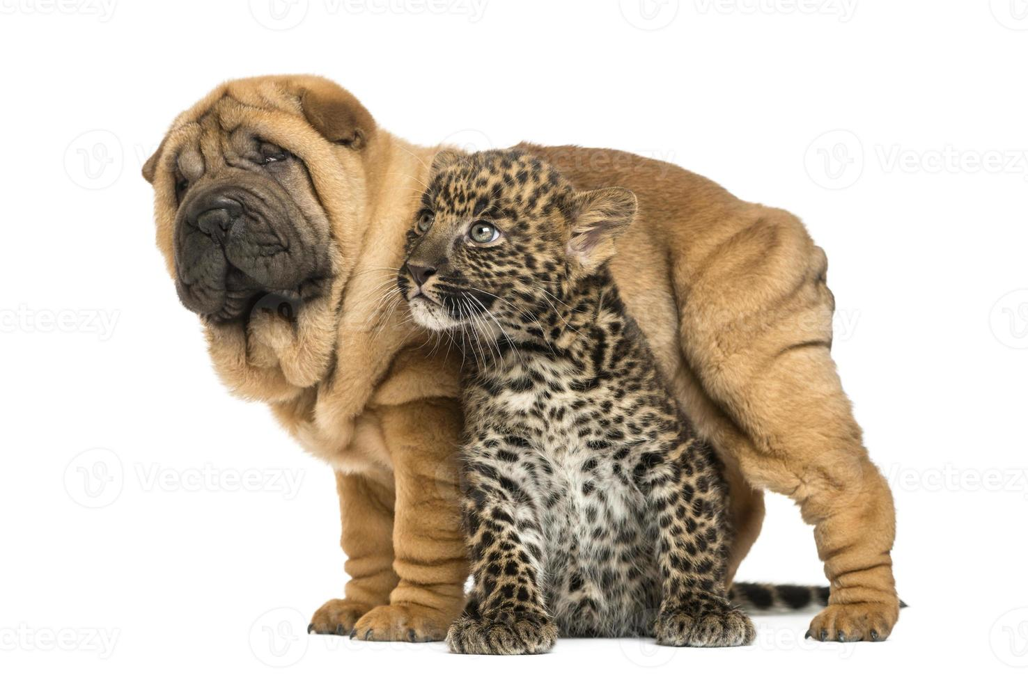 Shar pei puppy standing over a spotted Leopard cub, isolated photo