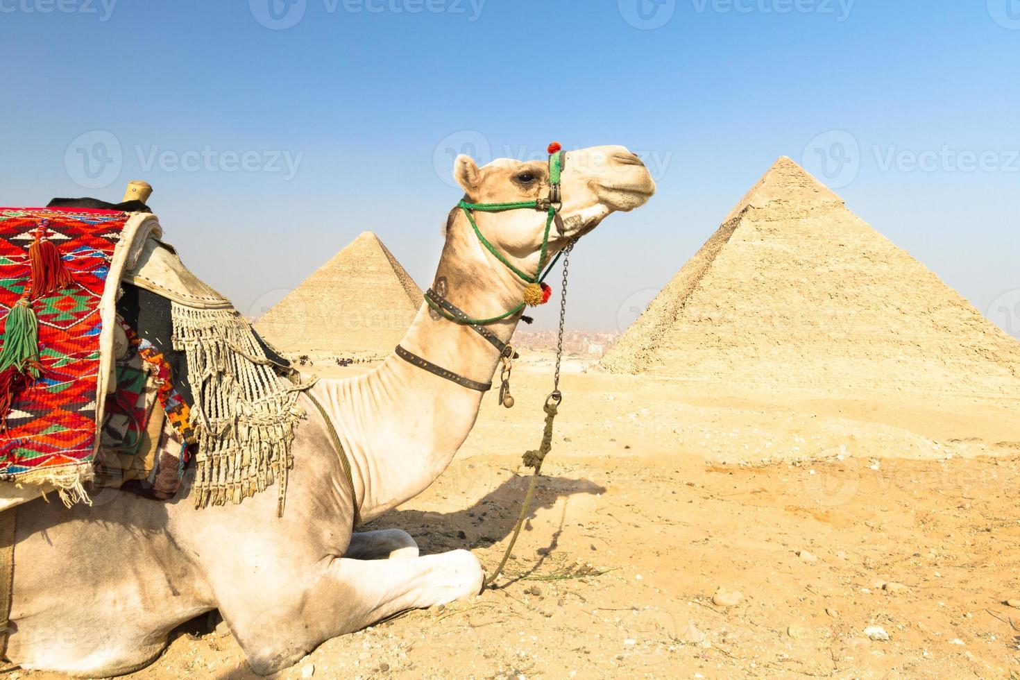 Camel at Giza pyramides, Cairo, Egypt. photo