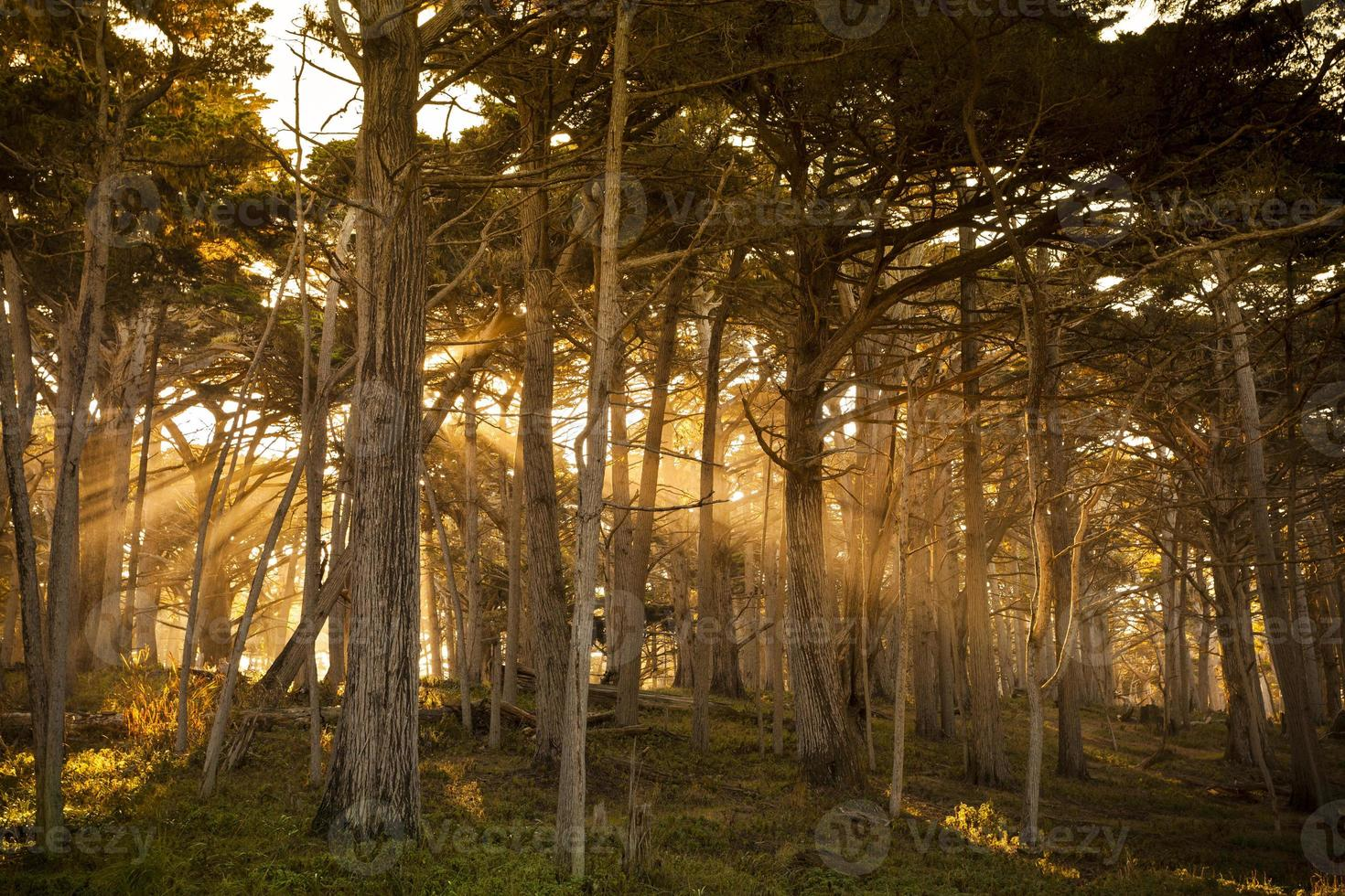 Fog surrounding Cypress trees in forest photo