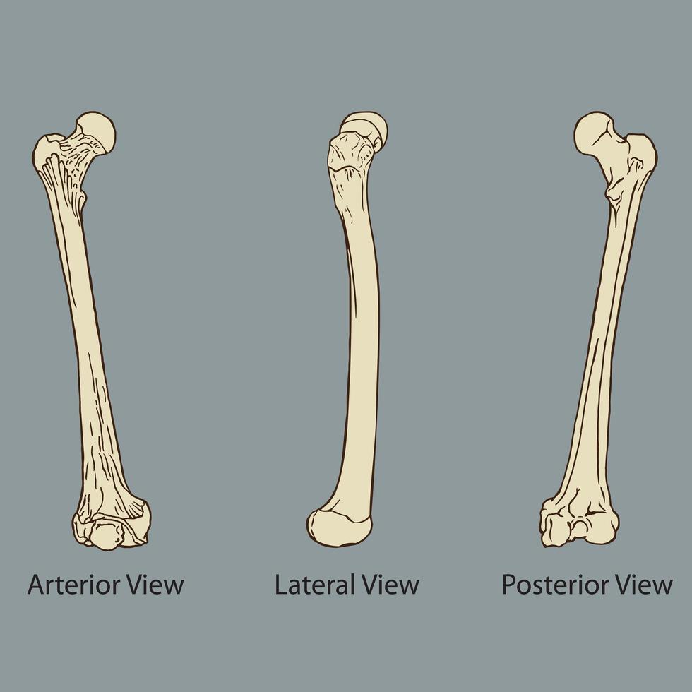 Thigh bone anatomy medical  vector
