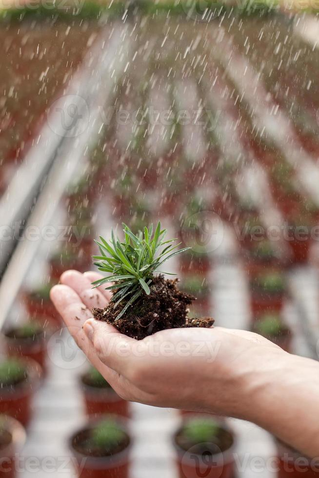 Skillful old garden worker is carrying vegetation photo