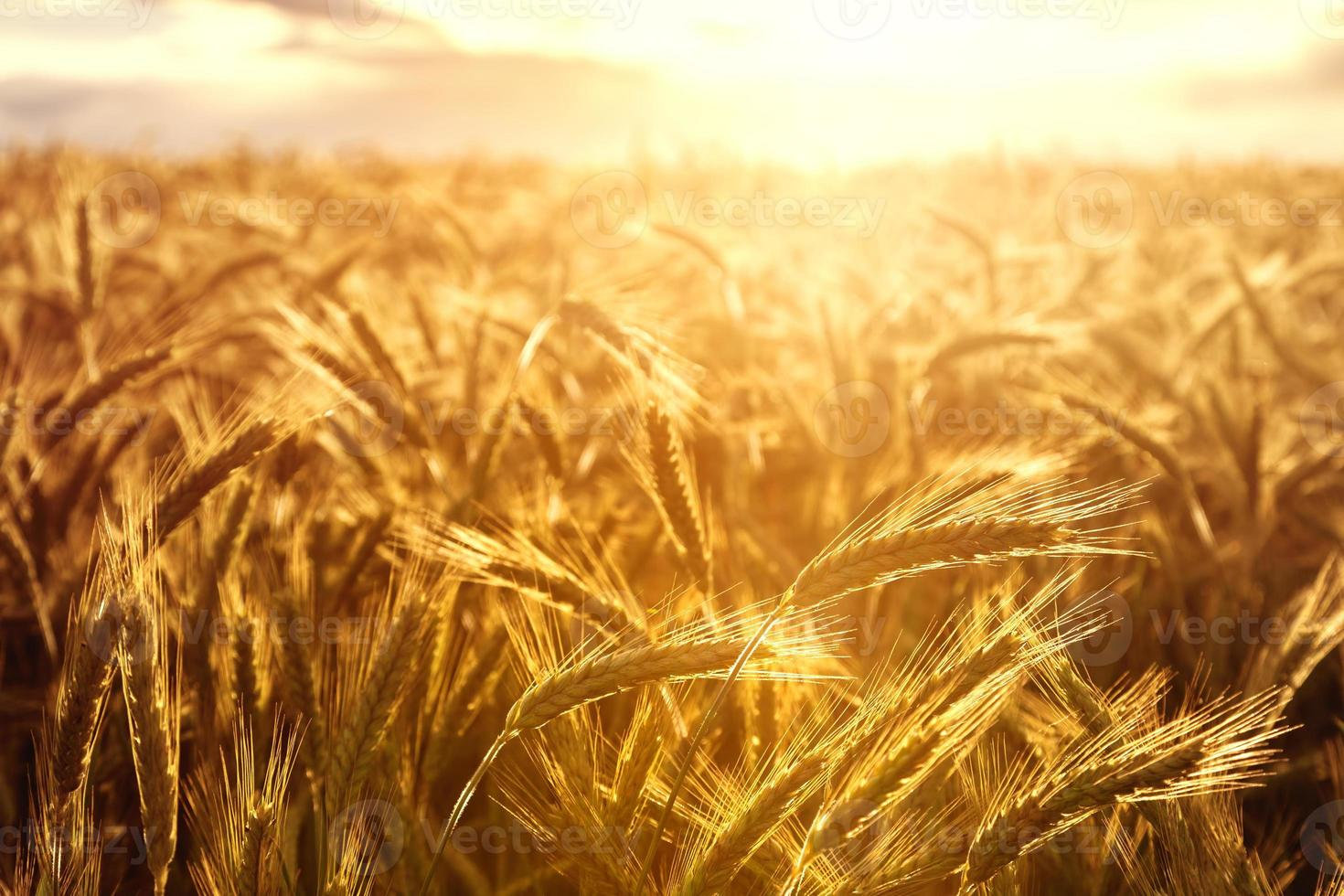 cultivos de trigo hacia la puesta de sol foto